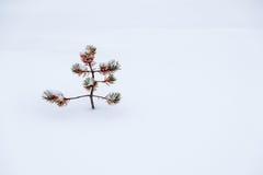 单独小丑恶的杉木在雪 免版税库存照片