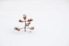 单独小丑恶的杉木在雪 库存图片