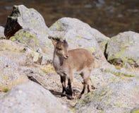 单独小山羊2 库存图片