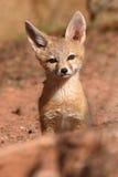 单独小狐狸小狗 库存照片
