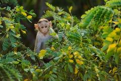 单独小猴子坐一棵绿色树和看在照相机通过叶子 免版税图库摄影