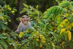 单独小猴子坐一棵绿色树和看在照相机通过叶子 图库摄影