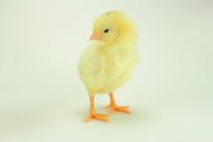 单独小鸡在白色背景中 库存图片