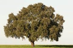 软木树 免版税库存照片