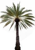 单独棕榈树 库存照片
