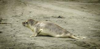 单独海象在海滩 免版税库存图片