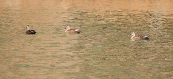 单独游泳三只东部斑点开帐单的鸭子 库存图片