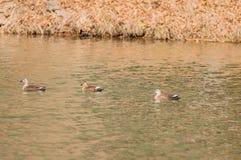 单独游泳三只东部斑点开帐单的鸭子 图库摄影