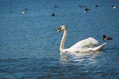 单独游泳在一个池塘的天鹅在一个晴天 库存照片