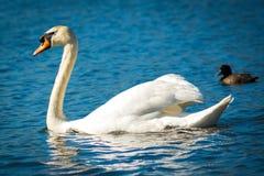 单独游泳在一个池塘的天鹅在一个晴天 免版税库存图片