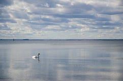 单独游泳在镇静水中的天鹅 库存图片