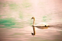 单独游泳的天鹅 库存照片
