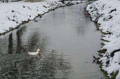 单独漂浮在冬天的鸭子 免版税图库摄影