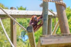 单独演奏摇摆在绳索的小猩猩 免版税库存图片