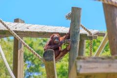 单独演奏摇摆在绳索的小猩猩 免版税库存照片