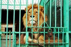 单独狮子是在笼子的酒吧后在动物园 免版税库存图片