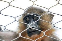 单独猴子 免版税图库摄影