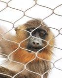 单独猴子 库存图片