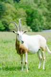 单独短弯刀有角的羚羊属 免版税库存照片