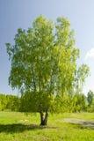 单独突出俄国的桦树 免版税库存照片