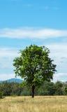 单独站立在与大山和蓝天的绿色领域的大唯一树在背景中 免版税库存照片