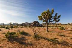 单独站立在有巨型岩石的沙漠,约书亚树国家公园,加利福尼亚的约书亚树 库存图片