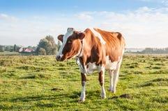 单独站立在清早阳光下的红褐色的母牛 免版税库存图片