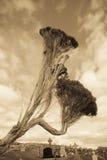 单独站立在爱尔兰坟园乌贼属的树被定调子 免版税图库摄影