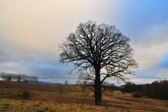 单独站立在草甸的大橡树 免版税图库摄影