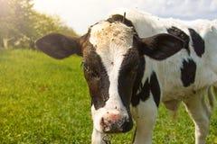 单独站立在绿色牧场地的小的小牛 免版税库存照片