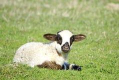 单独站立小的羊羔 库存图片
