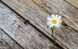 单独站立雏菊的花 库存照片