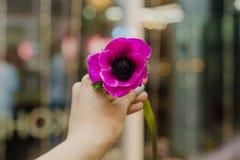 单独紫色花车间在手中 库存图片