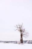 单独结构树冬天 库存图片
