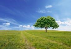 单独美丽的域绿色横向夏天日落结构树 图库摄影