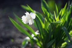 单独美丽的白色黄水仙 图库摄影