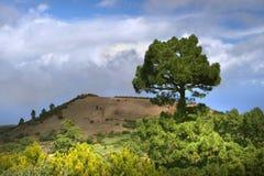 单独西班牙结构树 库存图片
