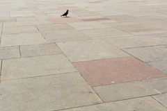 单独走一只的鸽子 库存图片