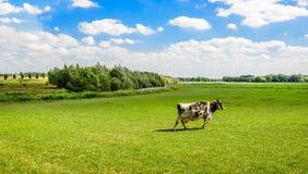 单独走在草甸的黑白黑白花牛母牛 免版税库存照片