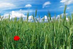 单独通配域绿色鸦片红色的麦子 免版税图库摄影