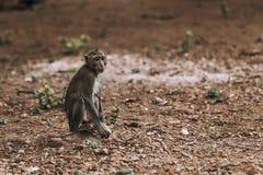 单独野生哀伤的猴子 免版税库存照片