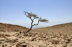 单独金合欢结构树在Judea沙漠。 图库摄影