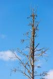 与蓝天的死的树在背景中 免版税库存图片