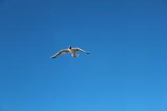 单独飞行在天空的海鸥 图库摄影