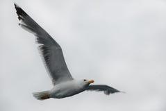 单独飞行自由海鸥 库存图片