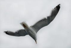 单独飞行自由海鸥 免版税图库摄影