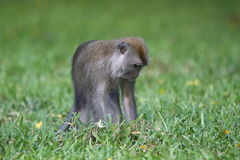 单独猴子 免版税库存照片