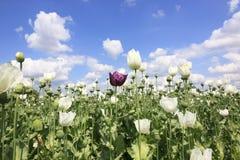 单独紫色鸦片罂粟花 免版税图库摄影