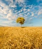 单独fieldl橡木常设结构树 免版税图库摄影