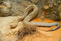 单色响尾蛇的durissus,阿鲁巴海岛响尾蛇, Cascabel 从阿鲁巴海岛的罕见的地方性蛇 在na的危险毒物蛇 免版税库存图片